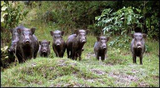 Dự đoán dựa vào chi tiết trong mơ thấy lợn rừng