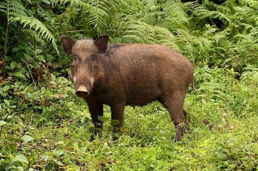 Mơ thấy lợn rừng có thông điệp và ý nghĩa gì?