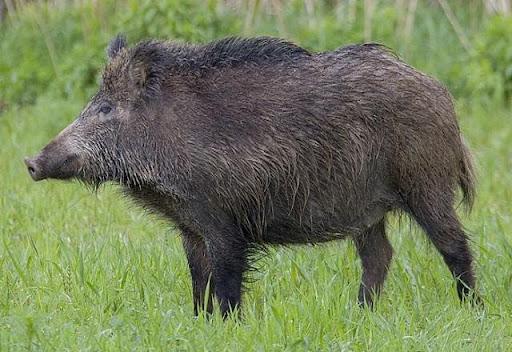 Mơ thấy lợn rừng đánh đề con gì là đẹp nhất?